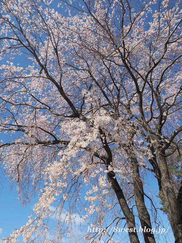 葛窪枝垂桜12