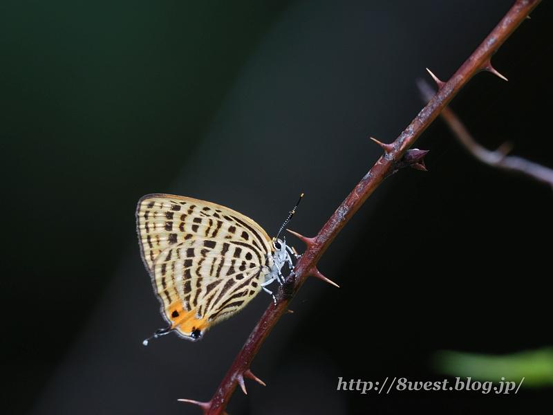 ウラナミアカシジミ1