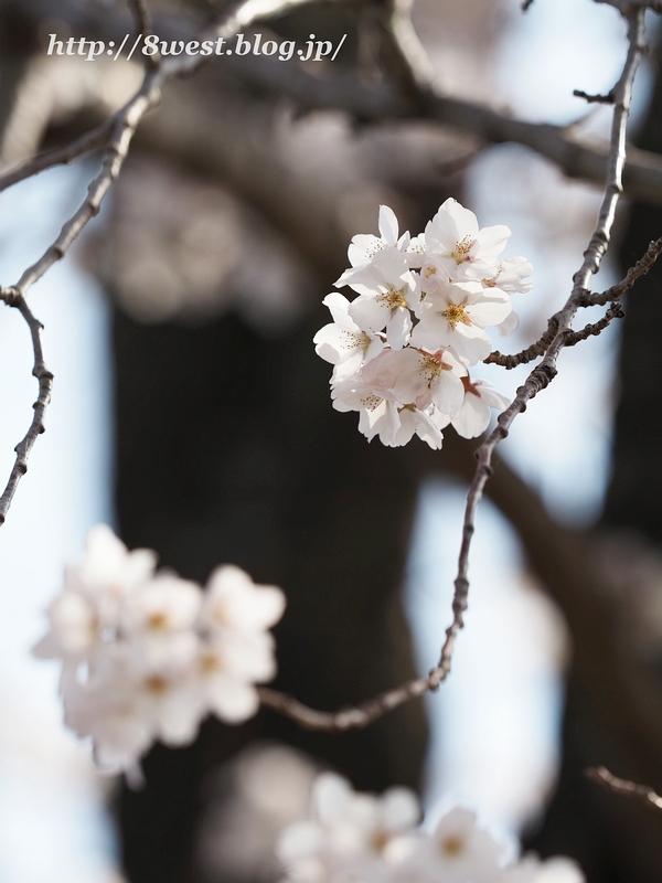 天空一本桜23
