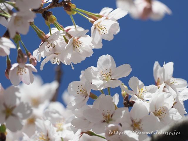 日輪寺の桜05