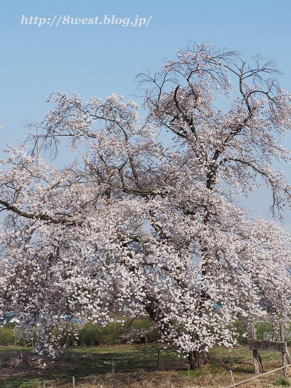 天空一本桜01