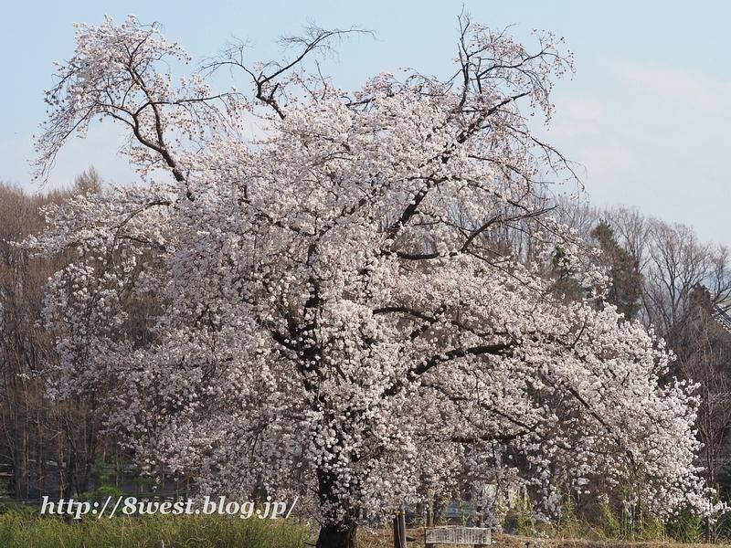 天空一本桜27