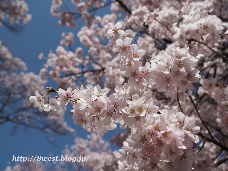 高遠桜33