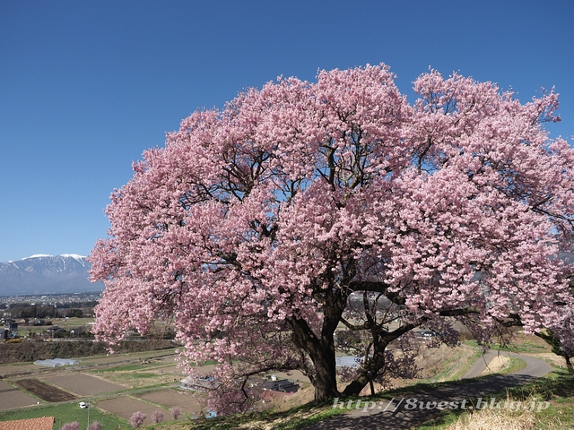 上ノ平の桜11