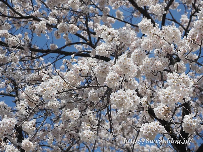 御野立桜22
