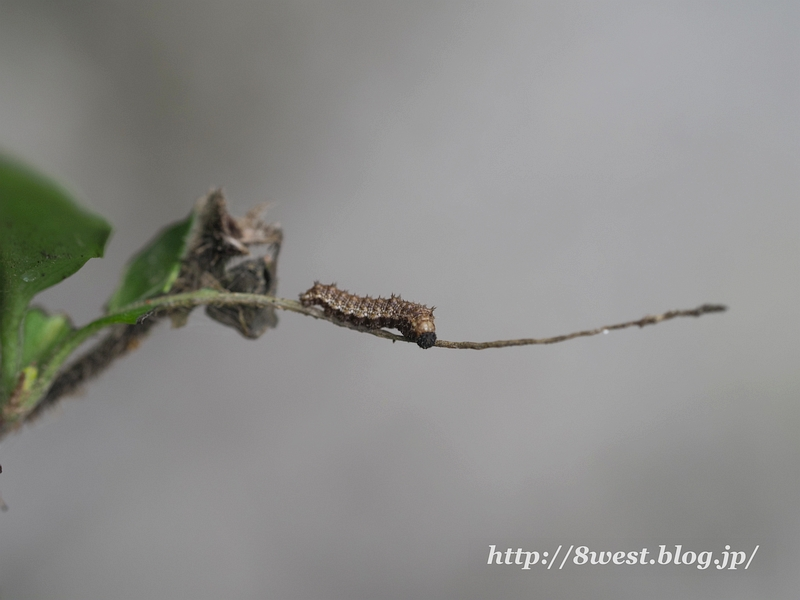 イチモンジチョウ幼虫21