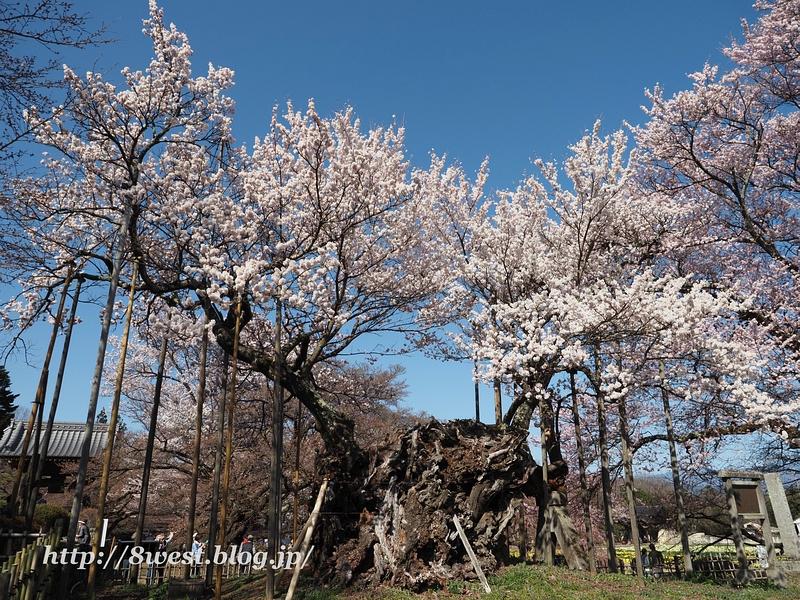神代桜08