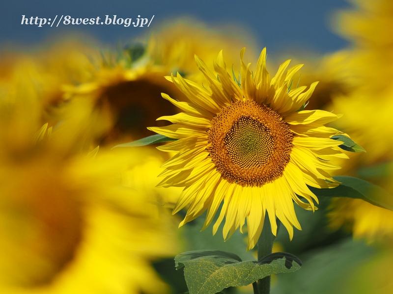 向日葵15