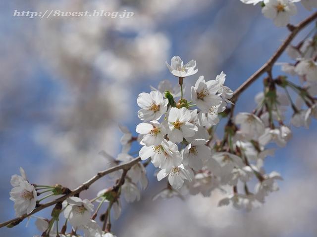 無量寺の桜26