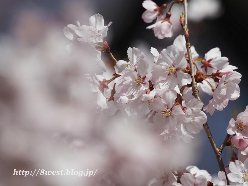 高遠桜30