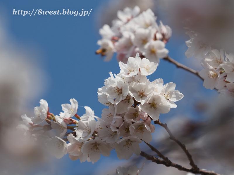 天空一本桜21