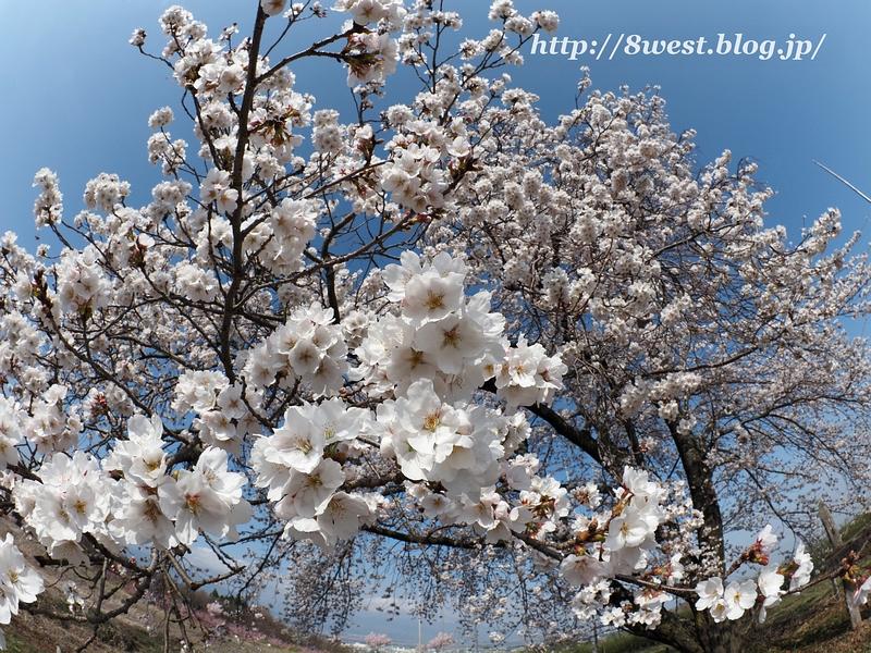 天空一本桜08