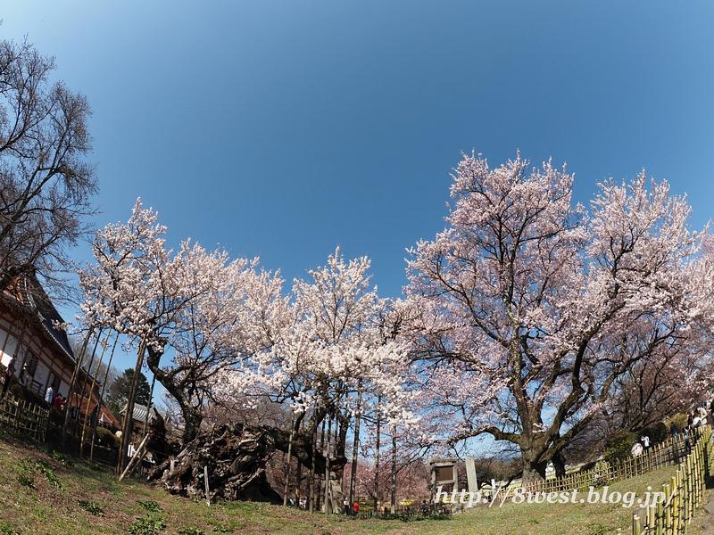 神代桜07