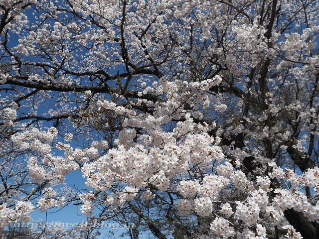無量寺の桜09