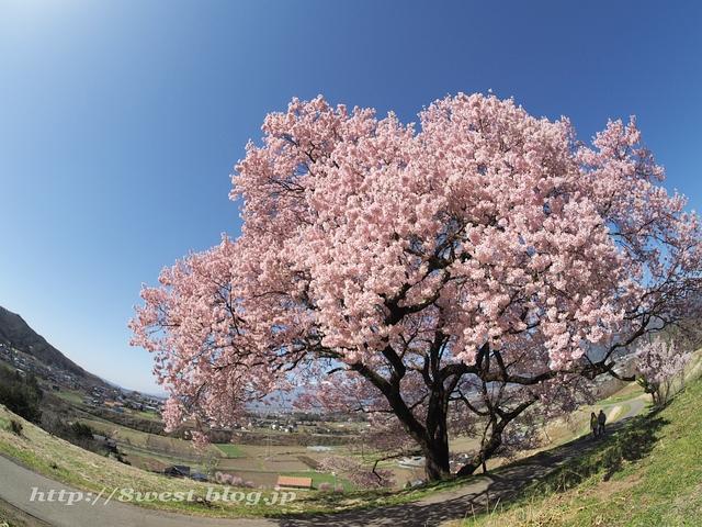上ノ平の桜18