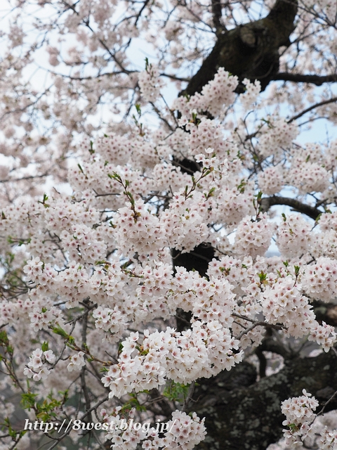 御野立桜5