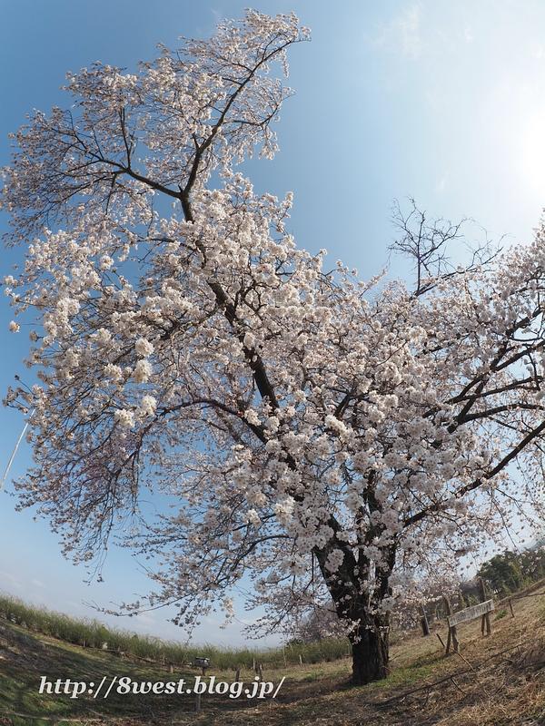 天空一本桜16