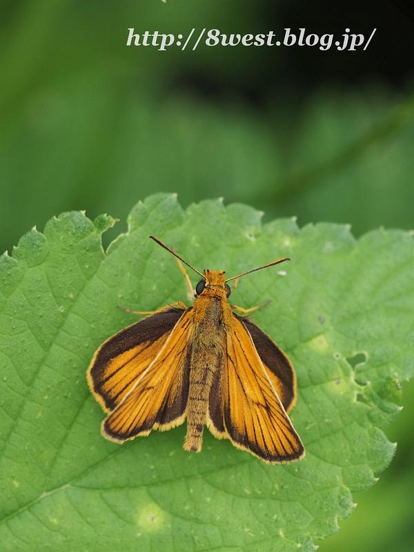 スジグロチャバネセセリ02