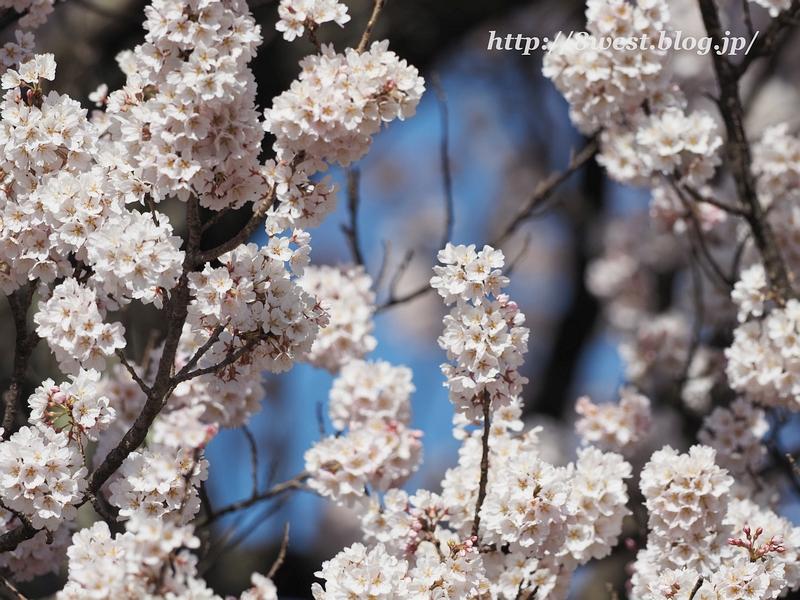 神代桜13