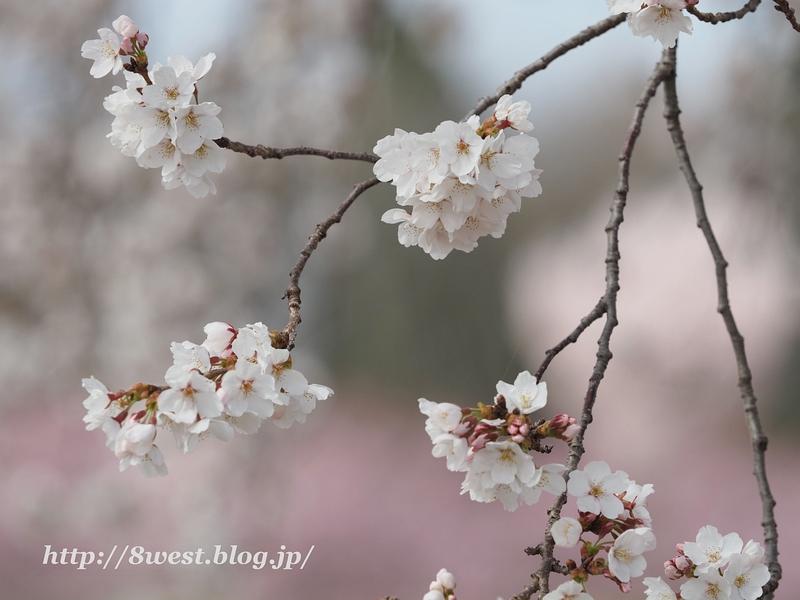 天空一本桜31