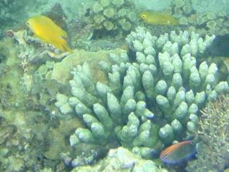 珊瑚と一緒