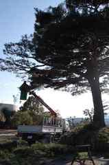 松の木 剪定