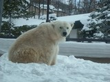 カメラ目線な白熊