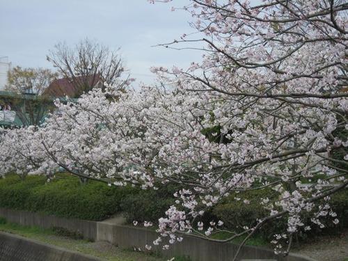 桜咲いた1.jpg