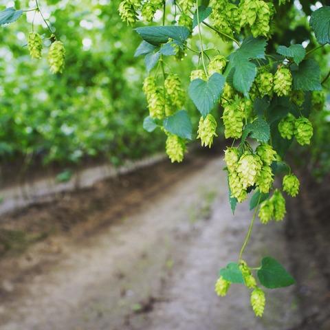 遠野ホップ収穫祭にいってきた ホップ畑とビールとおいしいごはん