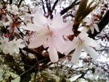 じゅうがつ桜