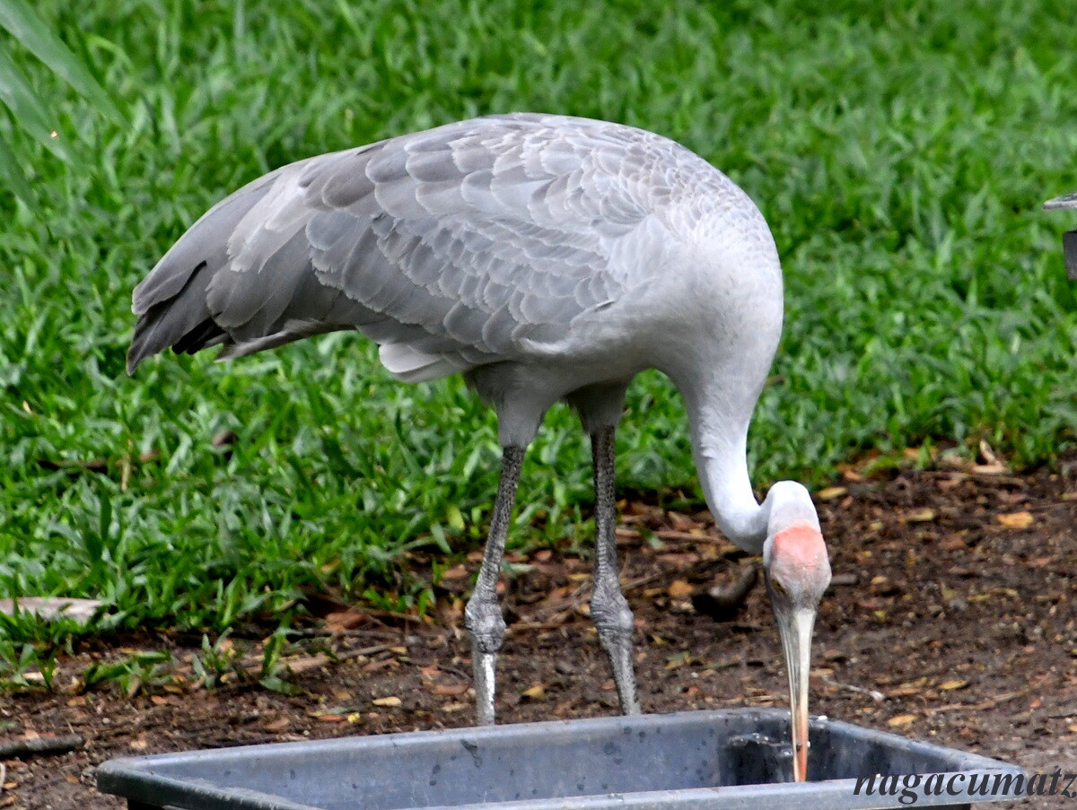 パプアニューギニア旅行<18>8日目 ポートモレスビー Nature Park(1 ...