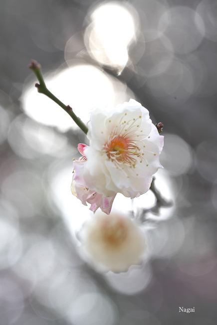梅の花519