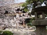 むじな灯籠と桜