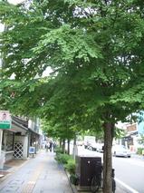 朝陽館前カツラの木