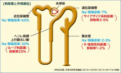 利尿薬作用部位
