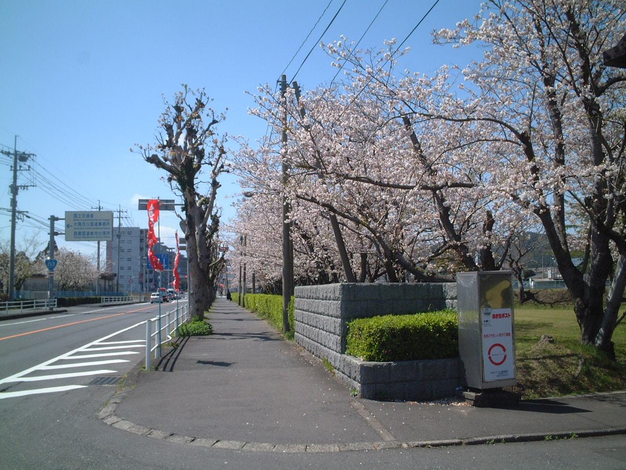 ソフトテニス・中年おじさんのブログ:鹿屋市運動公園前の桜 ...