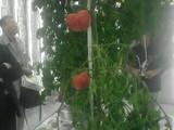水耕トマト