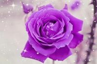 rose-1023302_640