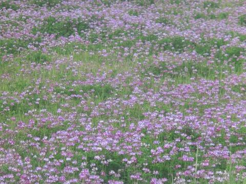 日本画家・柳樂晃里1904072レンゲ畑