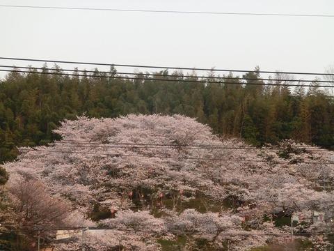 日本画家・柳樂晃里1904051社日山の桜