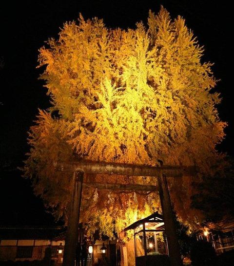 丹生酒殿神社の大銀杏。corvus_228r