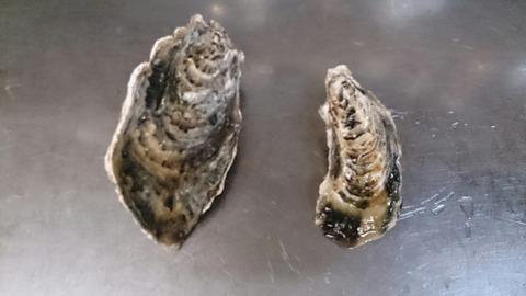 牡蠣比べ1