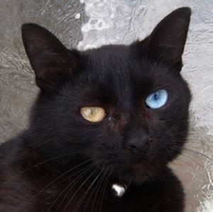 これはオッドアイの黒猫だけど…こんな黒猫を実際に間近で見てみたいなあ。