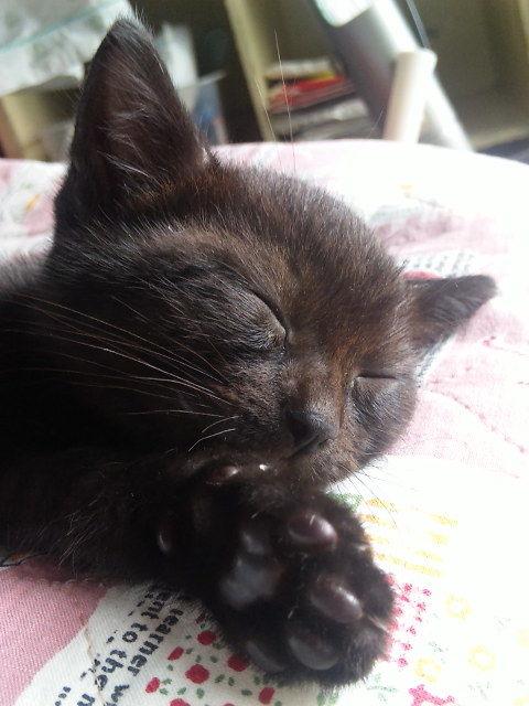 【再掲】生後3ヶ月に知り合いから貰ってきた我が家の黒猫。  黒というより黒に限りなく近い茶って感じだけど…