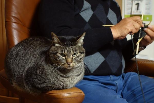 じーさんが編み物していると膝に乗れないので不満らしい