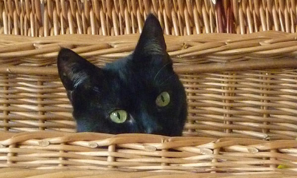 黒猫100匹ぐあい集めて、自分ちの黒猫当てクイズやりたい。 → 「当てる自信ない・・・」「ガッツリ外した・・・」「その100匹の中に・・・」