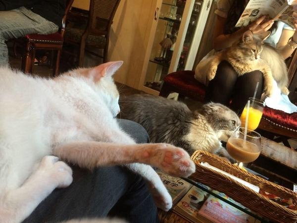 この猫カフェに行こうと思う。  膝に乗られて温もりを感じたい。