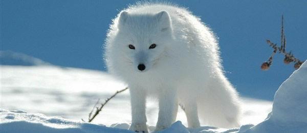 白狐001