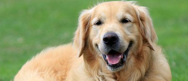 ゴールデンレトリバー買ってるけどまさしく金ぴかの犬  寝転がって昼寝しているとき陽光が降り注ぐと毛が金に透けて本当に美しい