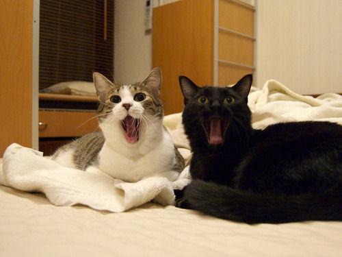 【画像】 ねこのあくびは伝染る